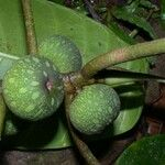 Ficus tonduzii
