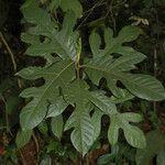 Artocarpus hispidus