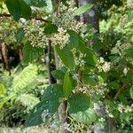 Cotoneaster coriaceus 花