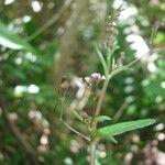 Boerhavia acutifolia