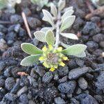 Alyssum desertorum