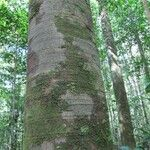 Batesia floribunda