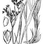 Luzula glabrata