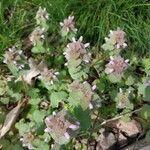 Lamium purpureum 花