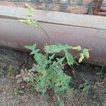 Sonchus asper Leaf