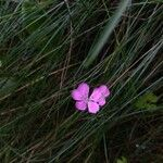 Dianthus scaber