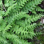 Woodsia montevidensis