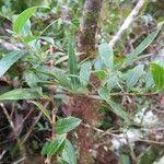 Vaccinium consanguineum