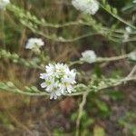 Berteroa incana Flower