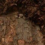 Ficus salicifolia Bark