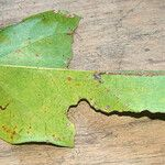 Acropogon tireliae