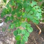 Moringa oleifera Feuille