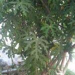 Carica papaya Leaf