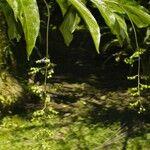 Bertiera guianensis