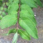 Deutzia crenata Leaf