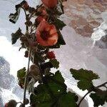 Sphaeralcea emoryi