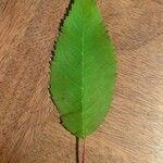 Prunus avium Blad