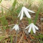 Acis longifolia