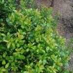 Arbutus unedo Leaf