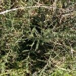 Asparagus acutifolius Leaf