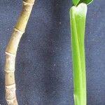 Philodendron guttiferum