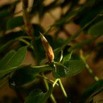 Rhododendron souliei