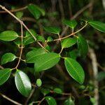 Alyxia rubricaulis