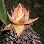 Ensete lasiocarpum