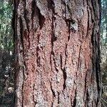 Pinus kesiya
