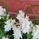 Hyacinthoides hispanica Cvet