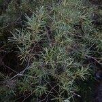 Salix eleagnos List