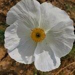 Argemone albiflora