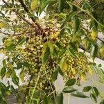 Melia azedarach Fruitua