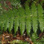 Dryopteris crispifolia