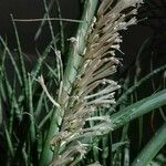 Sansevieria hyacinthoides