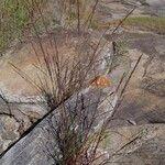Eragrostis japonica
