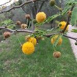 Acacia karroo