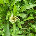 Trifolium repens Leht