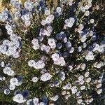 Globularia arabica