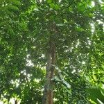Baccaurea motleyana