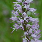 Orchis x beyrichii