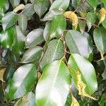 Ficus benjamina List