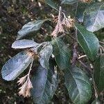 Brachylaena transvaalensis