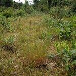Agrostis vinealis