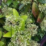 Viburnum odoratissimum