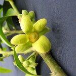 Guatteria oliviformis