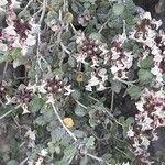 Teucrium buxifolium