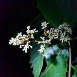 Cordia panamensis