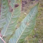 Banara guianensis Leht