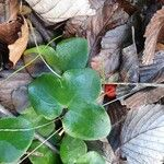 Anemone hepatica Leaf